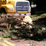 Towns crew cleans up massive tree
